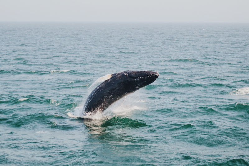 Humpback whale - Things to do in Plettenberg Bay
